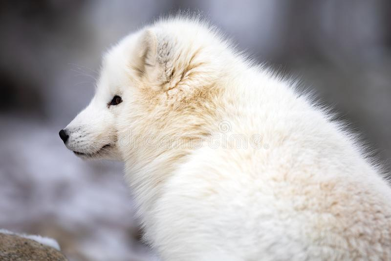 Close-up of arctic fox in white winter coat sitting. Arctic fox, Vulpes Lagopus, in white winter coat looking while sitting down on a large rock royalty free stock images