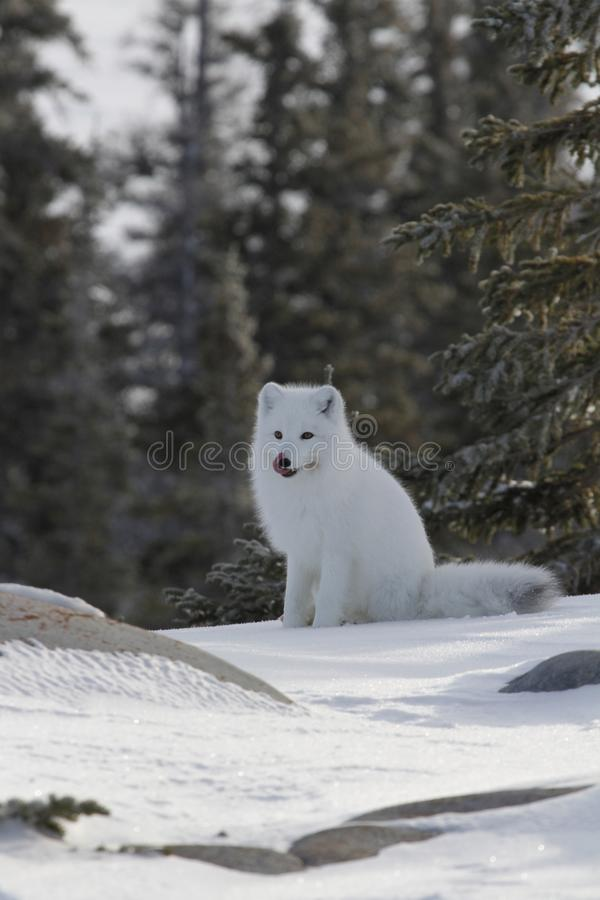 Arctic fox Vulpes Lagopus in white winter coat sitting on the snow licking its face. Near Churchill Manitoba royalty free stock photography