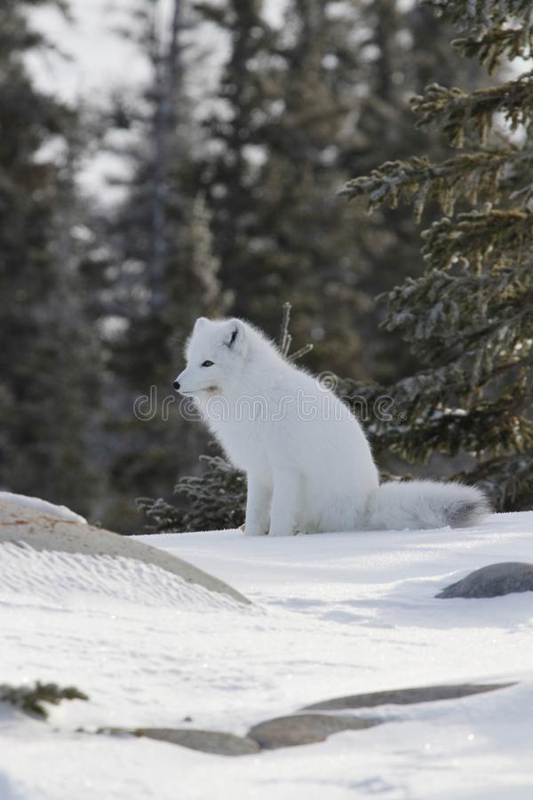 Arctic fox in white winter coat sitting on the snow. Arctic fox Vulpes Lagopus in white winter coat sitting on the snow, near Churchill Manitoba royalty free stock image