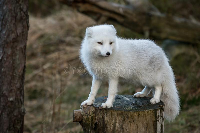 Arctic fox, Vulpes Lagopus, in white winter coat standing on a tree stump with natural forest background, no snow royalty free stock photos