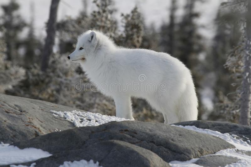 Arctic fox & x28;Vulpes Lagopus& x29; in white winter coat staring off while standing on a large rock with tre. Arctic fox Vulpes Lagopus in white winter coat stock photography