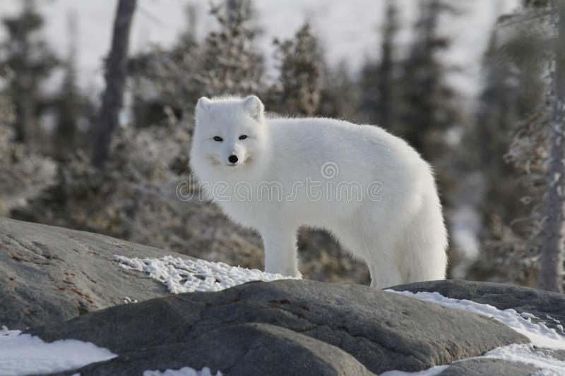 Arctic fox Vulpes Lagopus in white winter coat staring off while standing on a large rock with tre. Es in the background, Churchill Manitoba stock photos