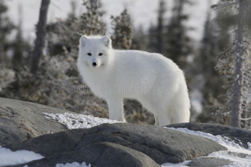 Arctic fox in white winter coat staring off while standing on a large rock with trees in the background,. Arctic fox Vulpes Lagopus in white winter coat staring stock images