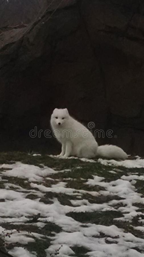 Artic fox sitting on ground next to small piles of snow stock photo