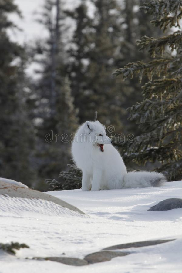 Arctic fox in white winter coat sitting on the snow, yawning. Arctic fox Vulpes Lagopus in white winter coat sitting on the snow yawning, near Churchill Manitoba stock photos