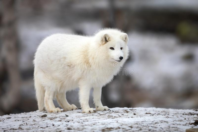 Arctic fox in white winter coat standing on a large rock. Arctic fox, Vulpes Lagopus, in white winter coat looking while standing on a large rock stock photo