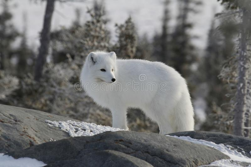Arctic fox in white winter coat staring off while standing on a large rock with trees in the background,. Arctic fox Vulpes Lagopus in white winter coat staring stock image