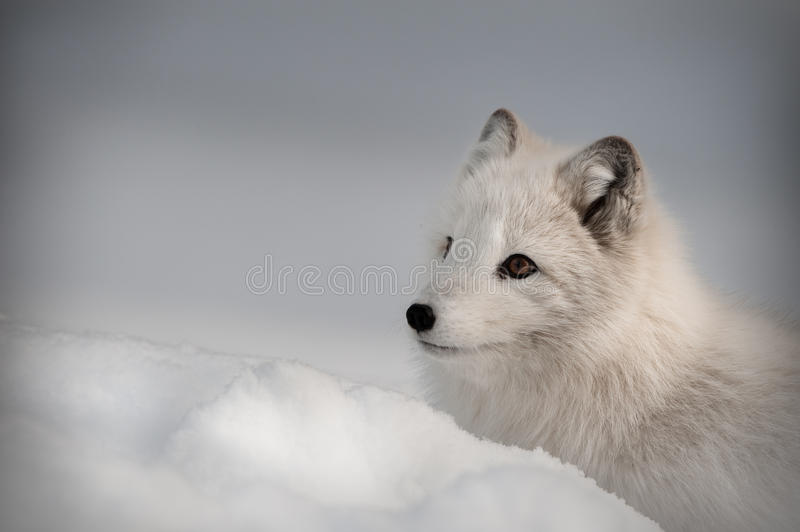 Arctic Fox in Winter stock photo