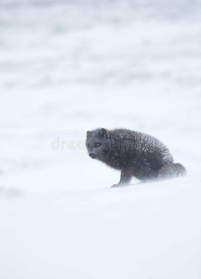 Arctic fox in winter, Iceland. Blue morph arctic fox standing in the falling snow, winter in Iceland stock image
