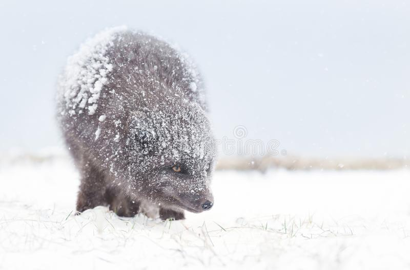 Arctic fox in winter, Iceland. Blue morph arctic fox standing in the falling snow, winter in Iceland royalty free stock images