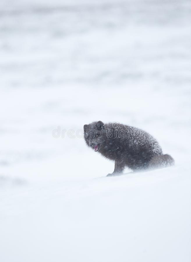 Arctic fox in winter, Iceland. Blue morph arctic fox standing in the falling snow, winter in Iceland royalty free stock photo