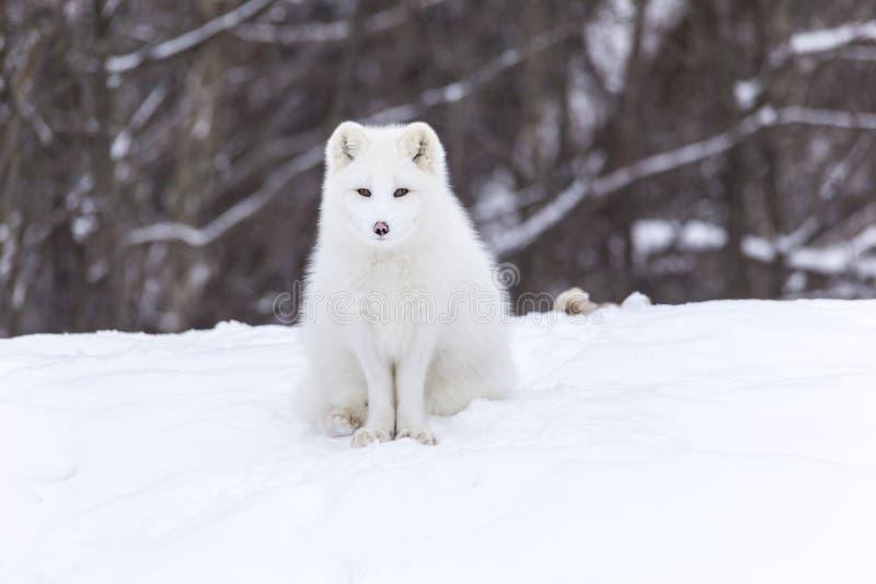 Arctic fox in a winter scene royalty free stock photo