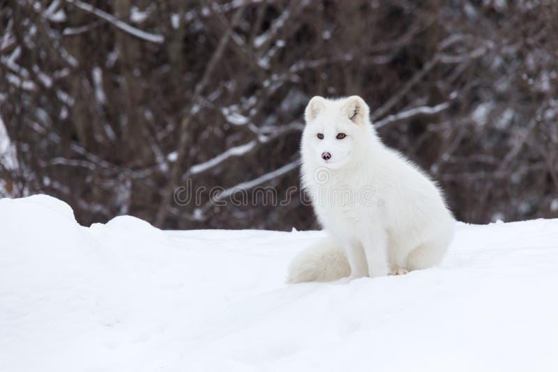 Arctic Fox in a winter scene stock photo