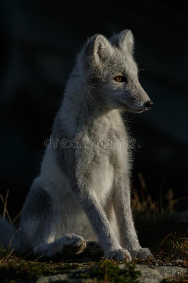 Arctic fox In a autumn landscape royalty free stock photography