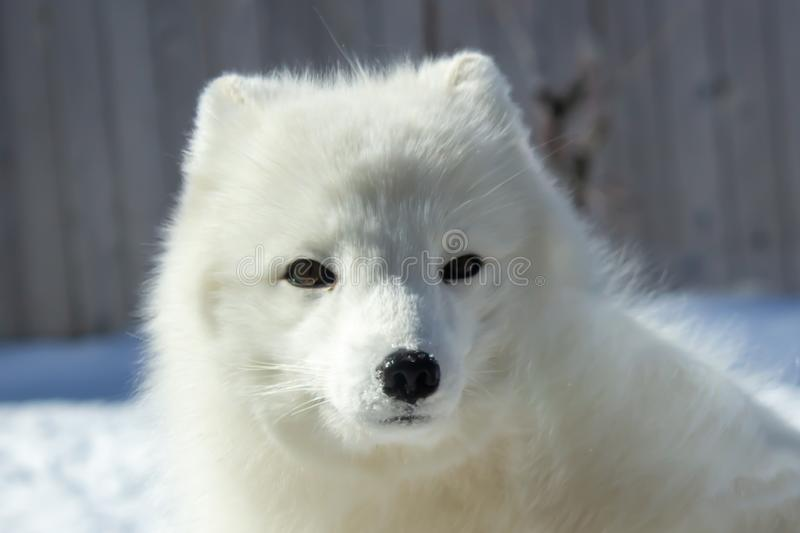 Arctic fox in a zoo royalty free stock photo