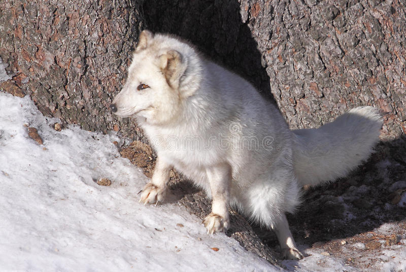 Arctic Fox1 stock photo