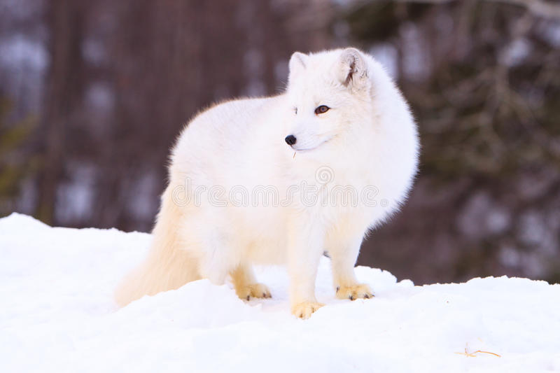 Arctic foxes broadside pose royalty free stock images