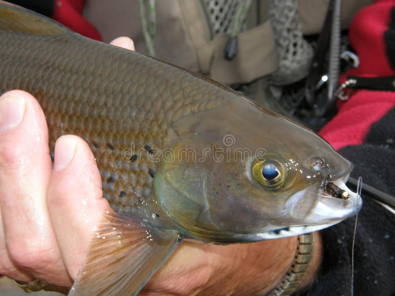 Arctic Grayling stock photo