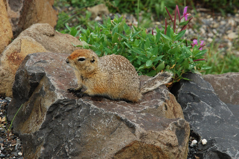 Arctic ground squirrel a stone - Denali National Park - Alaska. Arctic ground squirrel a stone - the largest and most northern of the North American ground stock photos