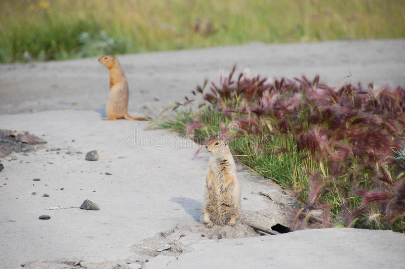 Arctic ground squirrels at roadside. Pevek town, Chukotka, Russia stock photography