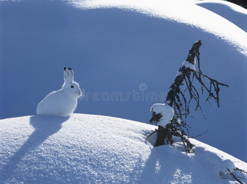 Arctic hare royalty free stock photography