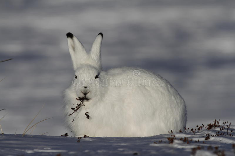 Arctic Hare Lepus arcticus chewing on willow near Arviat, Nunavut. Arctic Hare chewing on willow in snow near Arviat, Nunavut stock images