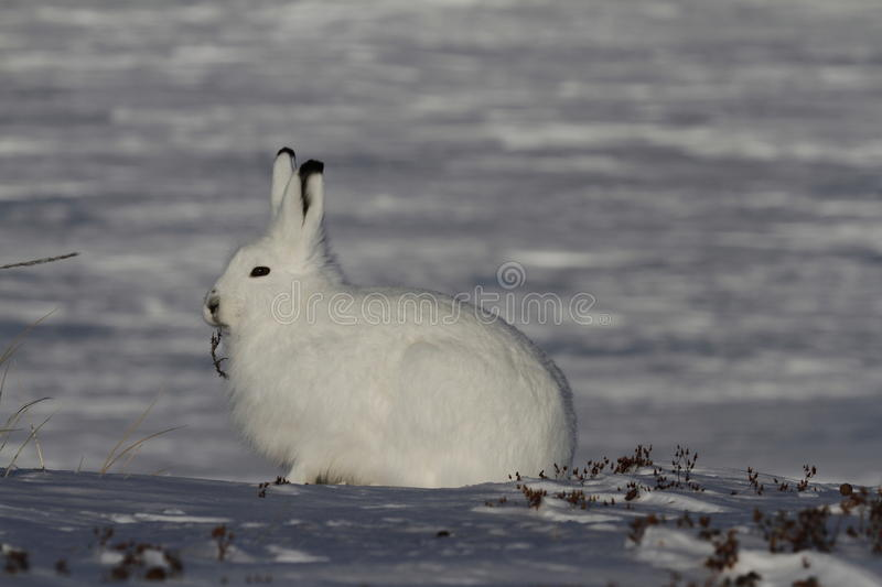 Arctic Hare Lepus arcticus chewing on willow while staring into the distance, near Arviat, Nunavut. Arctic Hare chewing on willow in snow near Arviat, Nunavut royalty free stock image