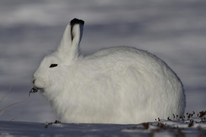 Arctic Hare Lepus arcticus chewing on willow while staring into the distance, near Arviat, Nunavut. Arctic Hare chewing on willow in snow near Arviat, Nunavut royalty free stock photography