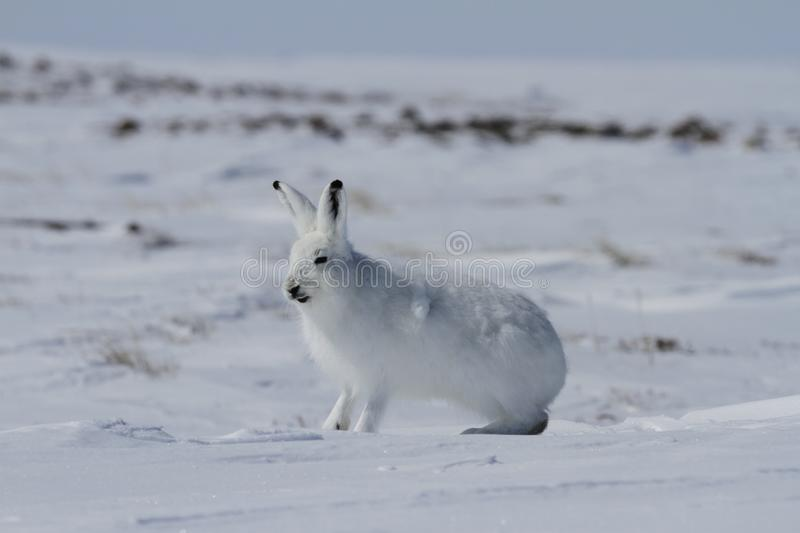 Arctic hare Lepus arcticus getting ready to jump while sitting on snow and shedding its winter coat royalty free stock photography