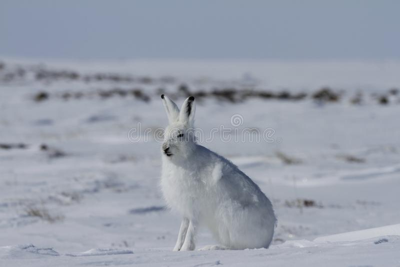 Arctic hare Lepus arcticus sitting on snow and shedding its winter coat. Nunavut Canada stock photos