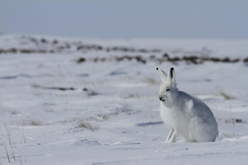 Arctic hare Lepus arcticus sitting on snow and shedding its winter coat, Nunavut. Canada royalty free stock photography