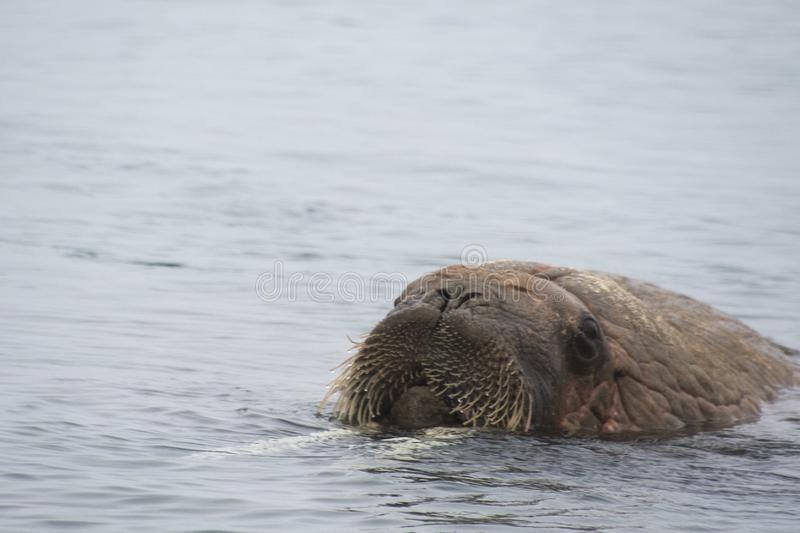 Arctic Island of Svalbard Norway, Walrus in the cold Water of the Arctic Ocean. Close up of a Walrus enjoying the cold water of the Arctic stock photo
