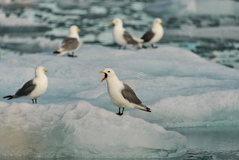 Seagull sitting on the ice with open beak in Svalbard. Arctic landscape with glacier in Svalbard, Norway at summer time. With beautiful reflrction royalty free stock photos