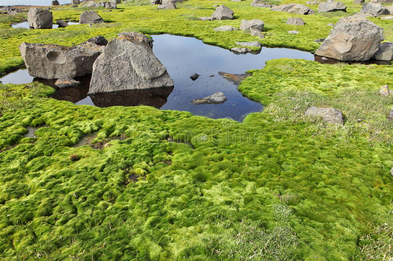 arctic moss royalty free stock photo image 31424445