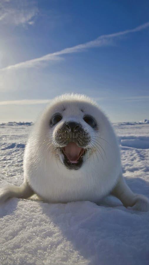 Arctic Ocean, Seals, Arctic, Marine Mammal Free Public Domain Cc0 Image