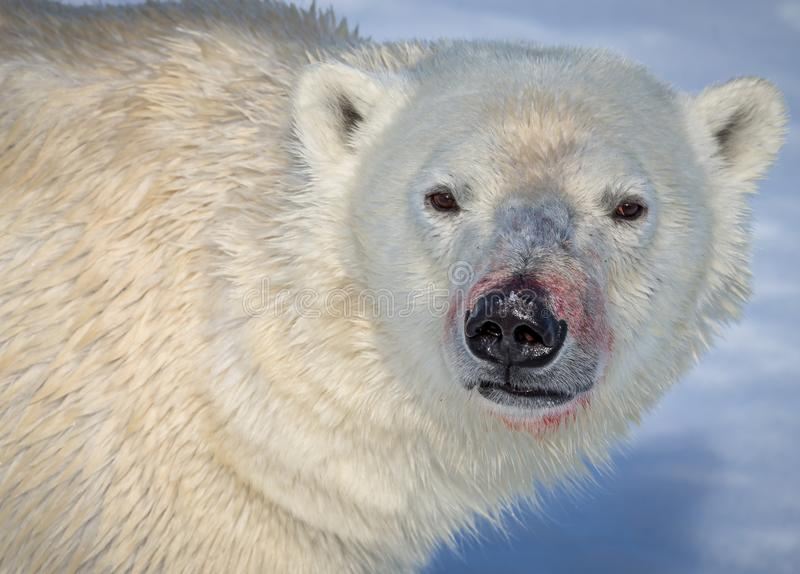 Arctic polar bear looks directly at camera, with blood on snout. After a kill royalty free stock image