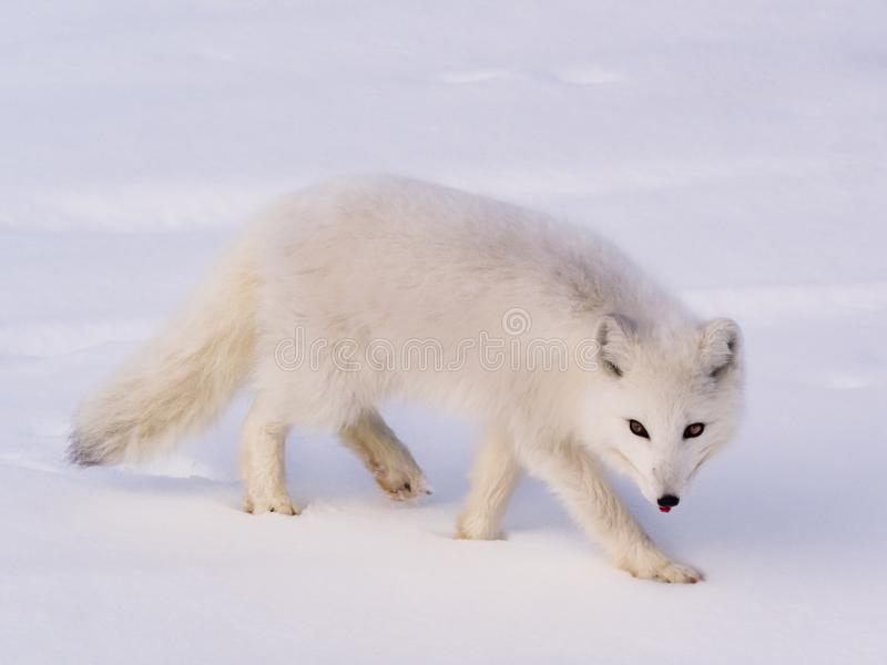 Arctic polar fox stock photo