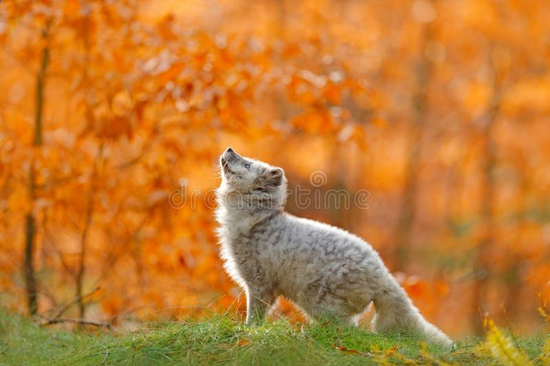 Arctic polar fox running in orange autumn leaves. Cute Fox, fall forest. Beautiful animal in the nature habitat. Orange fox, detai royalty free stock images