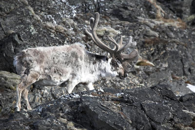 Download Arctic reindeer stock photo. Image of spitsbergen, arctic - 14475986
