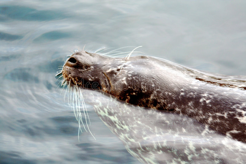 Download Arctic Seal stock image. Image of transparent, spotted - 8685347