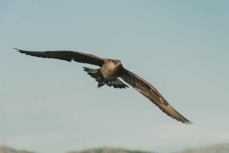 Arctic Skua In Flight Stock Photography