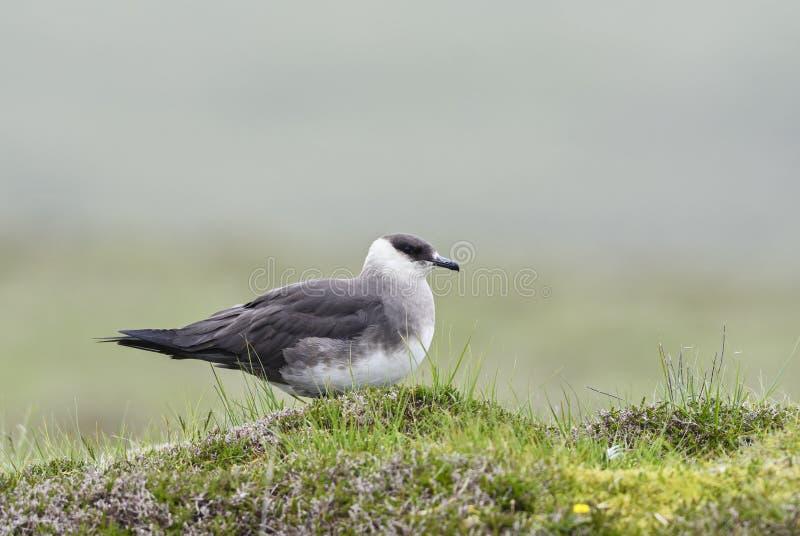 Arctic Skua - Stercorarius parasiticus. Elegant flier from Atlantic and Pacific oceans royalty free stock images