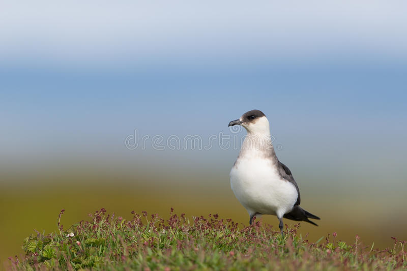 Arctic skua. In the tundra royalty free stock image