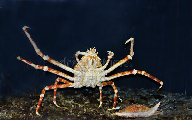 Arctic snow crab royalty free stock photos