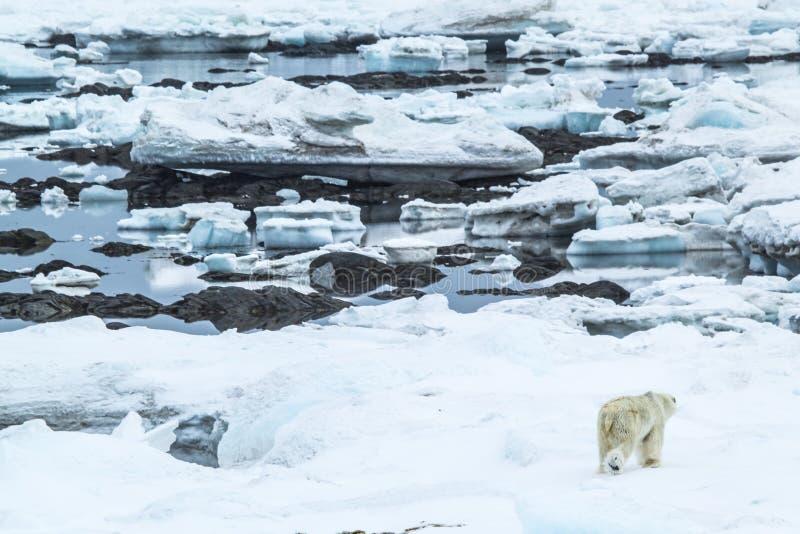 Arctic spring in south Spitsbergen. Polar bear. stock photo
