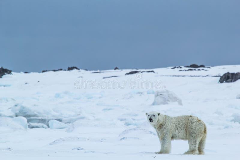 Arctic spring in south Spitsbergen. Polar bear. stock photos