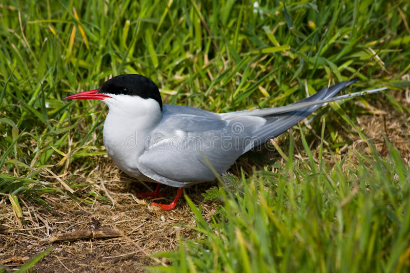 Download Arctic Tern stock photo. Image of arctic, wings, webbed - 9697960