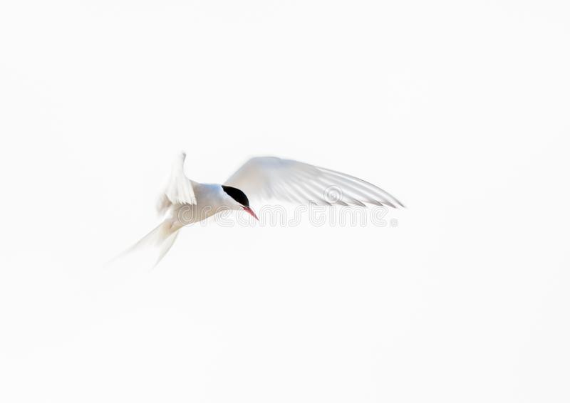 Arctic tern, abstract, white on white, in flight royalty free stock photo