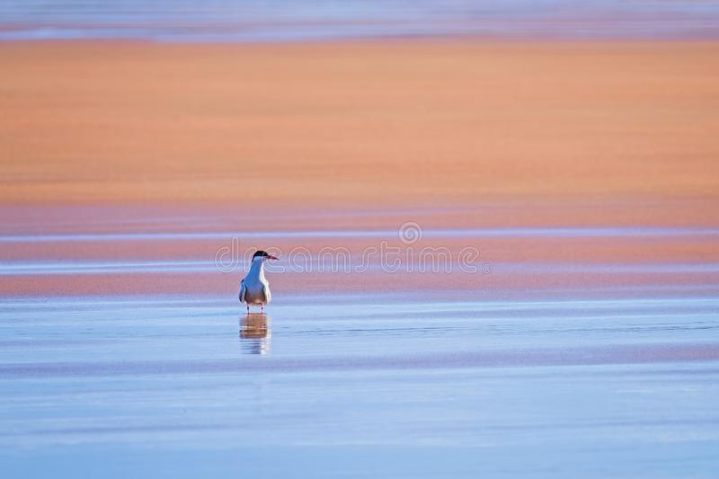 A lone arctic tern with reflections in wet sand stock images