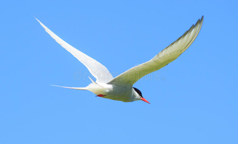 Arctic Tern royalty free stock images